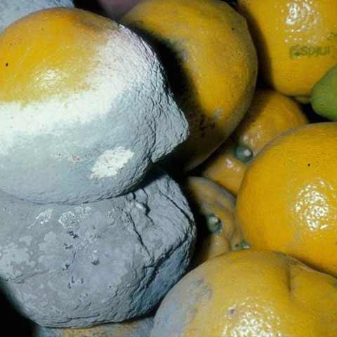 Citrus-storage